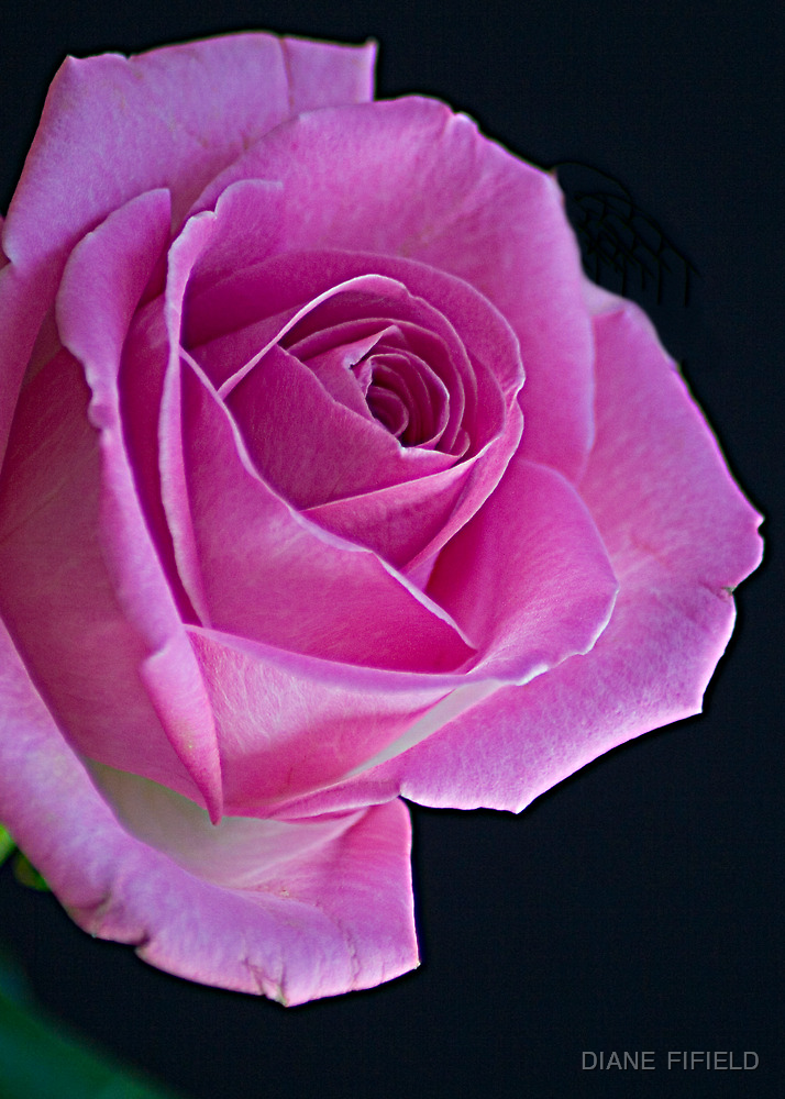 Pink Rose  for you  by DIANE  FIFIELD