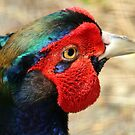 Metallic Highlights - Common Pheasant - NZ by AndreaEL