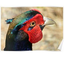 Metallic Highlights - Common Pheasant - NZ Poster
