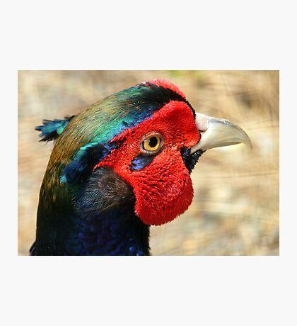 Metallic Highlights - Common Pheasant - NZ Photographic Print
