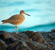 Solitary Sandpiper by Doug Dailey