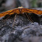 moth of the month by Joel Fourcard