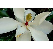Louisiana Magnolia Photographic Print