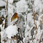 Robin red breast by Sandra O'Connor