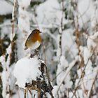 Robin red breast by Sandra O'Connor