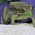 Ribbet.. Bull Frog by teresa731