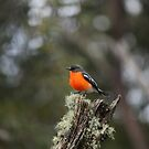 Male Flame Robin on Guard Duty! by Kaylene Passmore