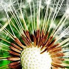 Seed pods of the Dandelion by Clive