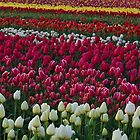 Tulip Explosion by John Behrends