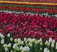 Tulip Explosion by John Behrends
