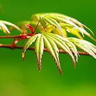 Japanese Maple by John Behrends