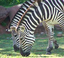Zebra's  by dmorrow
