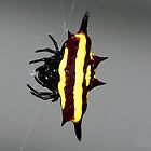 Spiny Orb Weaver - Mackay by aussiecreatures