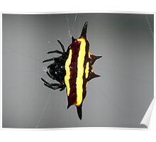Spiny Orb Weaver - Mackay Poster