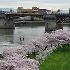 Cherry Trees Along the Willamette Waterfront by John Behrends