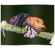 Cotton Harlequin Bugs Guarding Eggs Poster