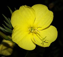 Evening Primrose by Jo Nijenhuis
