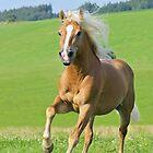 Haflinger horse stallion by Manfred Grebler