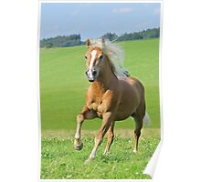 Haflinger horse stallion Poster