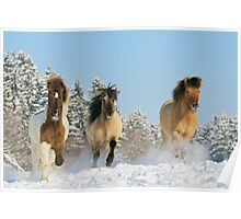 Three Icelandic horses in winter Poster