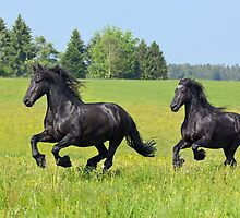 Friesian horses by Manfred Grebler