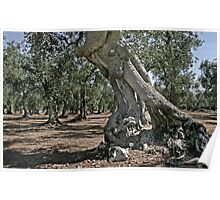 The Old Olive Tree - Puglia, Italy Poster