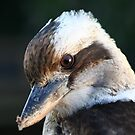 Kookaburra by Peter Pevy