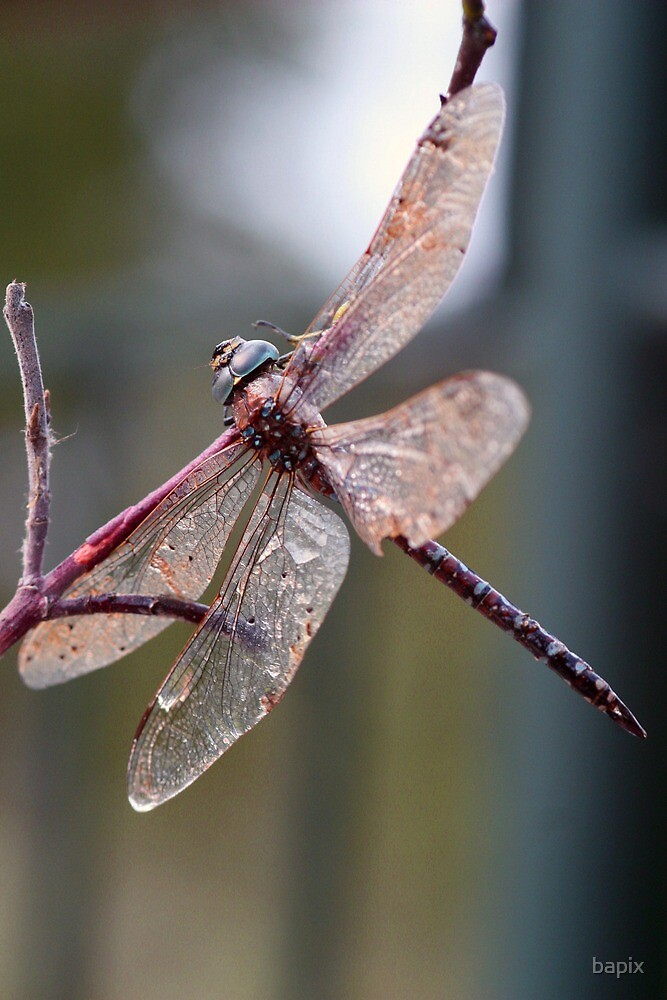 Resting Dragon fly by bapix
