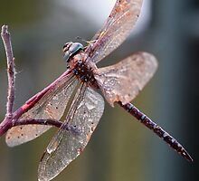 Resting Dragon fly by bapix
