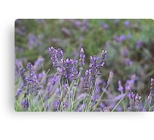 Lavender study Canvas Print