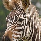 Zebra by Alexa Pereira