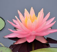 Pink Water Lily by Kathleen Brant