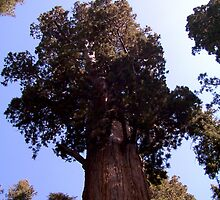 General Sherman sequoia by Nancy Richard