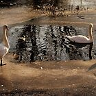 Swans and Mallards by Stan Owen