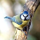 Blue tit by robspics