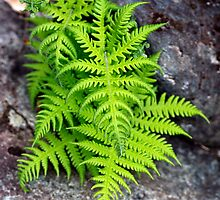Cluster of Ferns by Stephen Beattie