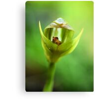 Pterostylis curta -- Being Green Canvas Print