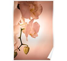 Soft Pink Orchid Poster