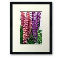New Zealand Lupin Framed Print
