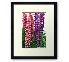 New Zealand Lupin Framed Print