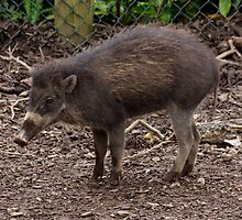 Cute Visayan Warty Pig by cute-wildlife