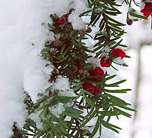 Snowy Berries by Mel Preston