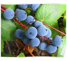 oregon grapes on the vine Poster