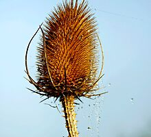 Teasel Laced with Morning Dew by Rod Johnson