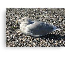 Sunning Seagull Canvas Print