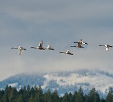 Trumpeter Swan Migration by David Friederich