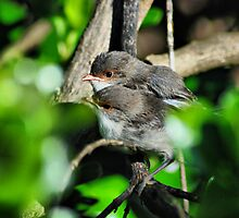 Alright mate? Blue Wrens by Adrian Kent