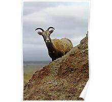 Bighorn sheep Poster