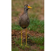 African Wattled Lapwing Photographic Print