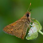 Skipper Butterfly wings closed  by John  Spry
